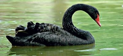"""Qué son los """"cisnes negros"""", los otros peligros que amenazan la economía mundial"""
